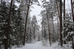 Pista dello sci in un'abetaia innevata Fotografia Stock Libera da Diritti
