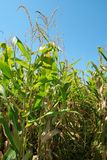 Pista do campo de milho Imagens de Stock Royalty Free