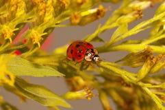 Pista do Ladybug Fotografia de Stock