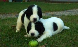 Pista en los cachorros principales Imagenes de archivo