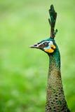 Pista femenina del pavo real Fotos de archivo
