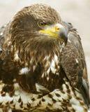 Pista joven del águila calva, Canadá Imagen de archivo libre de regalías
