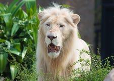 Pista masculina del león Imagen de archivo