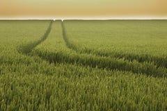 Pista nel campo di frumento Fotografia Stock