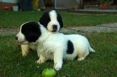 Pista pesada del cachorro Fotografía de archivo