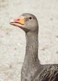 Pista salvaje del ganso Imagen de archivo