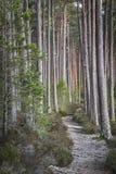Pista a través del pino escocés en el bosque de Abernethy en Escocia Fotografía de archivo libre de regalías