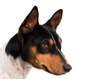 Pista tricolora del perro Fotos de archivo libres de regalías