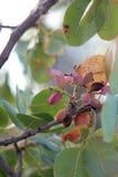 Pistacchi che crescono su un albero Fotografie Stock