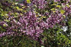 Pistacchio, nard selvaggio, terebinto, fioriture in montagne di Toro fotografia stock libera da diritti