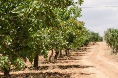 Pistachebomen, Antep, Turkije Stock Afbeelding
