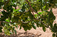 Pistachebomen, Antep, Turkije Stock Foto