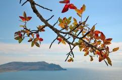 Pistaches d'une branche d'arbre, plan rapproché Image libre de droits