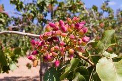 Pistachio brunch Royalty Free Stock Image