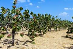 Pistachio brunch. The original Pistachio nuts from Aegina Island Greece Stock Image