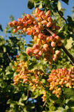 Pistachio Clusters on Trees. A branch of pistachios (foreground) and more clusters of pistachios in the background royalty free stock photo