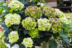 Pistachio green and purple Hydrangea. Stock Photo