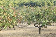 Pistachio grove Stock Images