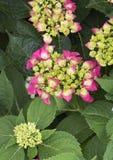 Pistachio Hydrangea stock photo