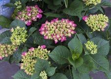 Pistachio Hydrangea stock photos
