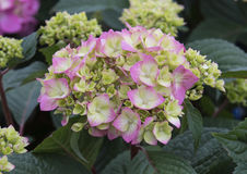 Pistachio Hydrangea. A Pistachio Hydrangea is illuminated by bright sunlight stock photography