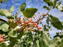 Pistachio fruit ready to be harvested royalty free stock photos