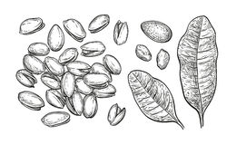 Pistachio nuts set. Ink sketch. Hand drawn vector illustration. Isolated on white background. Retro style Stock Images