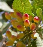 Pistachio plant Stock Images