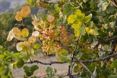 Pistachio Tree At Sunset In Greece Stock Photos