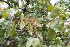Pistachio tree branch Stock Photos