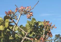 Pistachio tree branch Royalty Free Stock Image