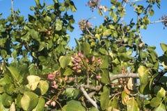 Pistachio tree branch Stock Images