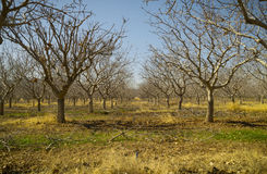 Pistachio Tree Farm in Winter Stock Photo