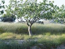Pistachio tree Royalty Free Stock Photo