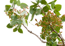 Pistachio tree Royalty Free Stock Photos