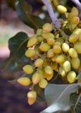 Pistachio tree. Royalty Free Stock Photo
