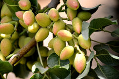 Pistachio tree. Royalty Free Stock Photos