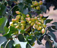 Pistachio tree. Royalty Free Stock Photo