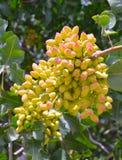 Pistachio tree. Stock Photography