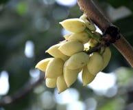 Pistachio tree. Stock Images