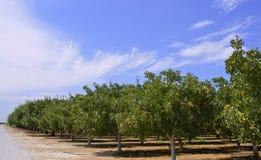 Pistachio tree. Stock Photo