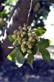 Pistachio tree Stock Images