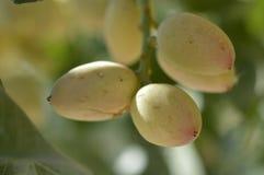Pistachio tree Royalty Free Stock Photography