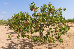 Pistachio tree Stock Images