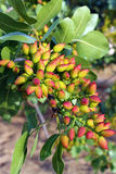 Pistachio Tree Stock Photo