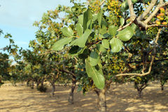 Pistachio Tree Stock Image