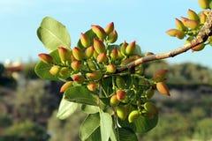 Pistachio Tree. S in Aegina island full of pistachio nuts Stock Images