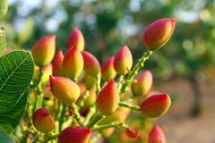 Pistachio Tree Royalty Free Stock Image