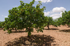 Pistachio trees, Antep , Turkey Royalty Free Stock Photography