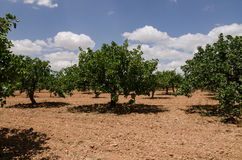 Pistachio trees, Antep , Turkey Stock Photo